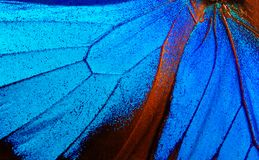 Wings of the butterfly Ulysses. Closeup. Wings of a butterfly texture background Stock Photography