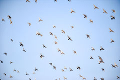 The wings of dove Royalty Free Stock Images