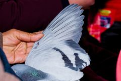 The wings of a dove. In your handn Royalty Free Stock Photography