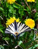 Wings of dreams. In the morning I saw a butterfly on a dandelion. I looked at her and dreamed of flying stock photos