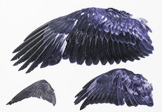 Wings of Eagles. Eagle wings stuffed in exposure, animals and nature Stock Photography