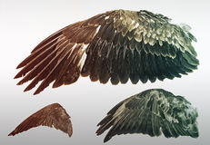 Wings of Eagles. Eagle wings stuffed in exposure, animals and nature Royalty Free Stock Images