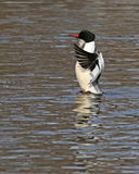 Wings Flapping Common Merganser Royalty Free Stock Image