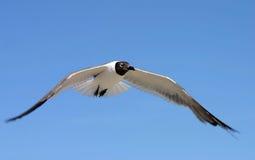 Wings of Flight. Seagull in flight. Madeira Beach Florida Stock Photos