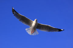 Wings. Flying seagull in the blue sky Stock Image