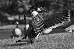 Wings. Goose is getting ready to defend his family by spreading out the wings Stock Photo