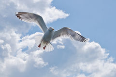 On The Wings Of A Gull. Herring gull in flight with wings outstretched Stock Images