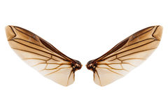 Wings of insect isolated on white background Royalty Free Stock Photography