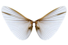 Wings of insect  on white background Royalty Free Stock Photos