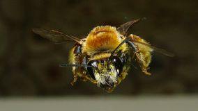 Bee | Close Up royalty free stock images