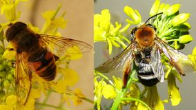 Bee VS Hoverfly stock image
