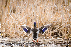 Wings of Mallard Duck Stock Photos
