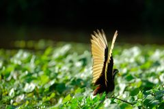 Wings of the northern jacana royalty free stock image