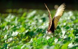 Wings of the northern jacana royalty free stock images