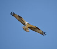 Wings of the Osprey Royalty Free Stock Images