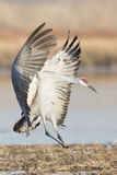 Wings out at landing in New Mexico Royalty Free Stock Photography