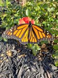 Wings outspread on monarch butterfly. Monarch butterfly getting some autumn sun stock photo