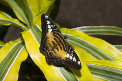 Wings Outstretched. A brown Clipper Butterfly with wings outstretched stock photo