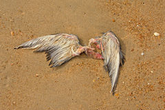 Wings. remains of a dead seagull Royalty Free Stock Photography