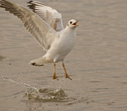 Wings of seagull. Seagulls typically have harsh wailing or squawking calls Royalty Free Stock Photos
