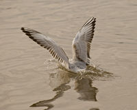 Wings of seagull. Seagulls typically have harsh wailing or squawking calls Royalty Free Stock Image