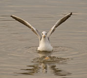 Wings of seagull. Seagulls typically have harsh wailing or squawking calls Stock Photos