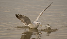 Wings of seagull. Seagulls typically have harsh wailing or squawking calls Stock Image
