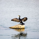 Wings Spread. A black bird spreads its wings along the river in Kyoto, Japan Stock Images