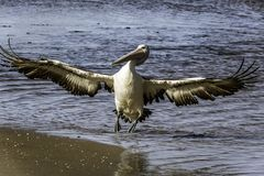 Wings spread pelican landing stock photos