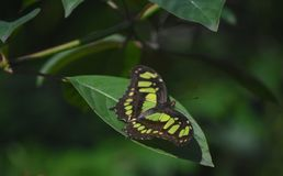 Wings Spread Wide on a Green and Black Malachite Butterfly. Pretty green and black malachite butterfly with wings spread open royalty free stock images