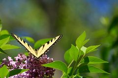 Wings in a V Eastern Tiger Swallowtail on pink lilac High Park Stock Photo