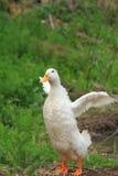 Wings weiße Ente Lizenzfreie Stockfotografie