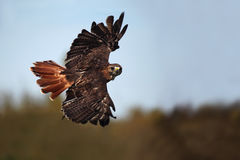 Wingspan. Red-Tailed Hawk in flight against a blurred autumn background Royalty Free Stock Photography