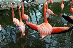 Wingspan of a Flamingo. A flamingo spreads its wings in an effort to scare off the tourists Stock Photo