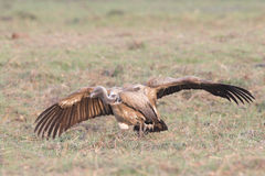 Wingspan of white-backed vulture Stock Photos