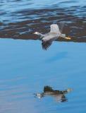 Wingspan of White-face heron. stock image