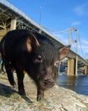 świnia Fotografia Stock