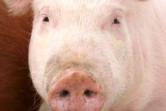 świnia Zdjęcie Royalty Free