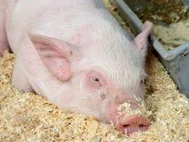 świnia Obrazy Royalty Free
