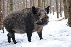 świnia dzika Fotografia Stock