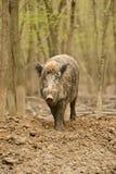 świnia dzika Zdjęcie Royalty Free