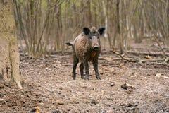 świnia dzika Zdjęcia Stock