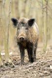 świnia dzika Obrazy Royalty Free