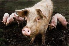 świnia jest Obraz Stock