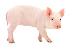 Świnia na bielu Fotografia Royalty Free