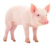 Świnia na bielu Obraz Royalty Free