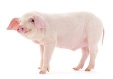 Świnia na bielu Obrazy Royalty Free