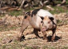 Świnia na gospodarstwie rolnym Fotografia Stock