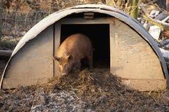 świnia Tamworth Zdjęcia Stock