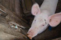 Świnia w drewnianej klatce Obrazy Stock